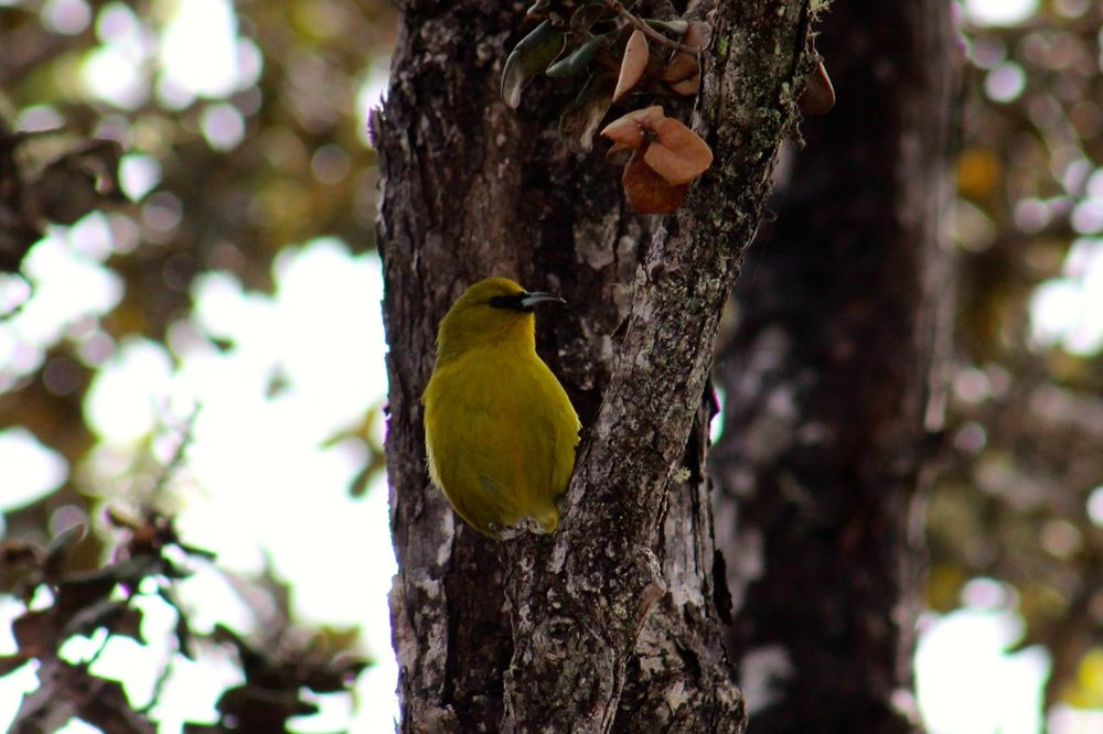 Hawaii is a special place to Strelow and her family that lives there. She took this photo of an Amakihi while hiking the Pu'uO'o Trail on the Big Island. The native bird species there need all our help to pull them away from the brink of extinction. See how you can help the native birds of Hawaii through projects and partners of  American Bird Conservancy.