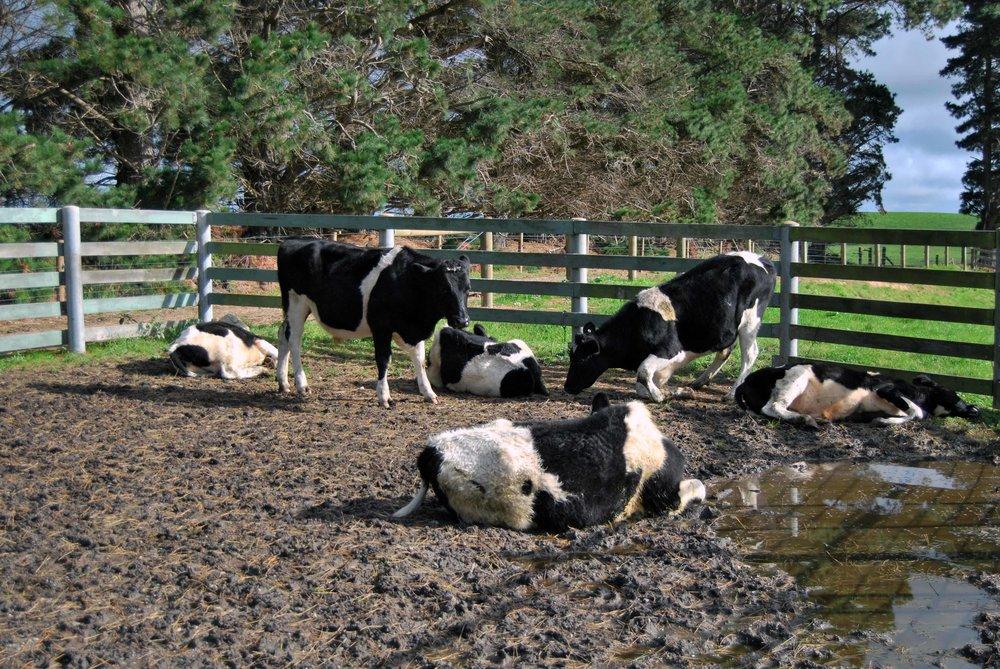 'Cow Sleep'2_2012.jpg
