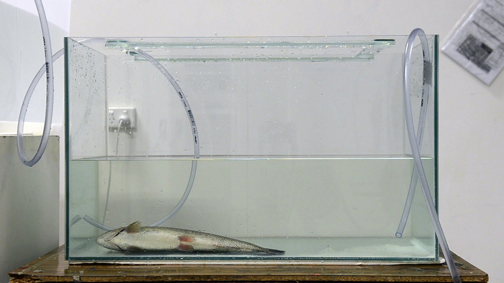'Fish Anaesthesia'1_2012.jpg