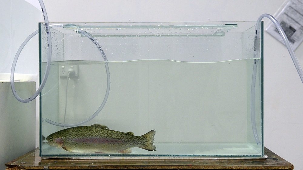 'Fish Anaesthesia'2_2012.jpg