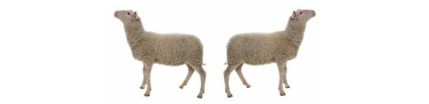 Partyfield-Dorset-sheep.jpg
