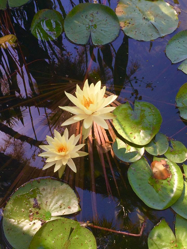 sierra lotus.jpg