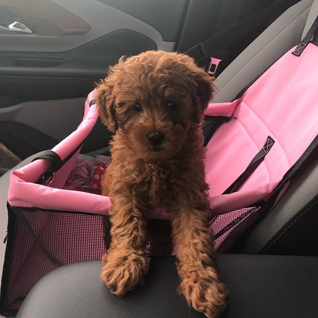 @summerinflorida_ not loving her car seat #workinprogress #puppy #goldendoodle #puppymom
