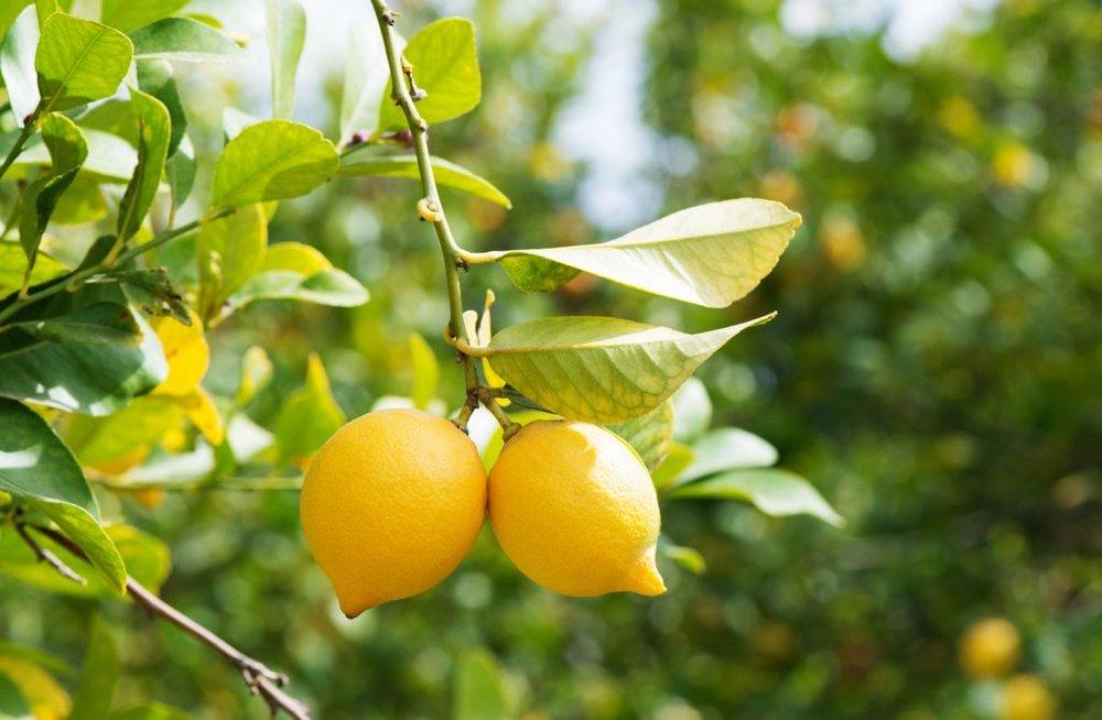 Limoni - Polvere di buccia di limone biologico, esfoliante, aiuta a rimuovere le cellule morte, contiene Vitamina C che aiuta a rivelare pelle luminosa.