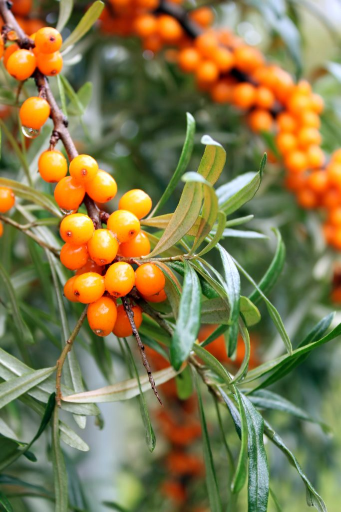 Sea Buckthorn Fruit Oil - Anti-oxidant Sea buckthorn fruit oil is a super concentrate of Vitamins A and E, and unsaturated Omega 7 fatty acids, which help to regenerate skin cells and promote skin healing