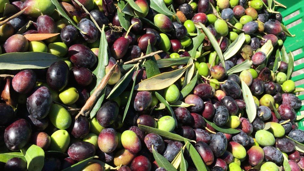 Fresh olives.JPG