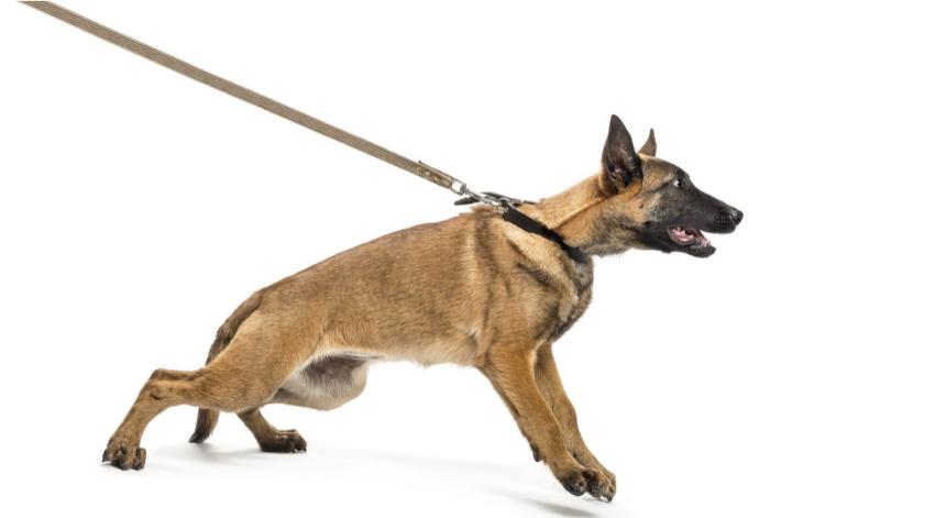 052920758-belgian-shepherd-leashed-again-850x471.jpg