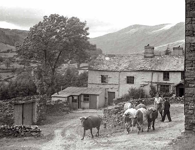 cows in village.jpg