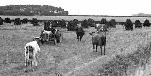 cows with tractor.jpg