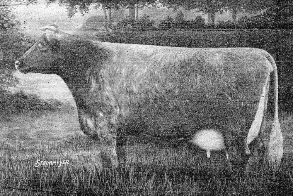 Model Dairy Shorthorn, 1933