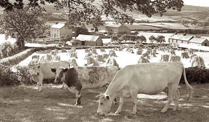 cows by haystacks.jpg