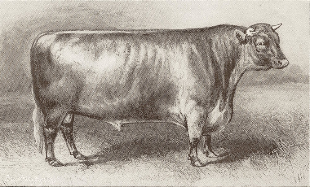 Comet (155) The 1st bull ever sold for 1000 guineas ($5000) Ketton dispersion of Charles Colling in 1810.jpg