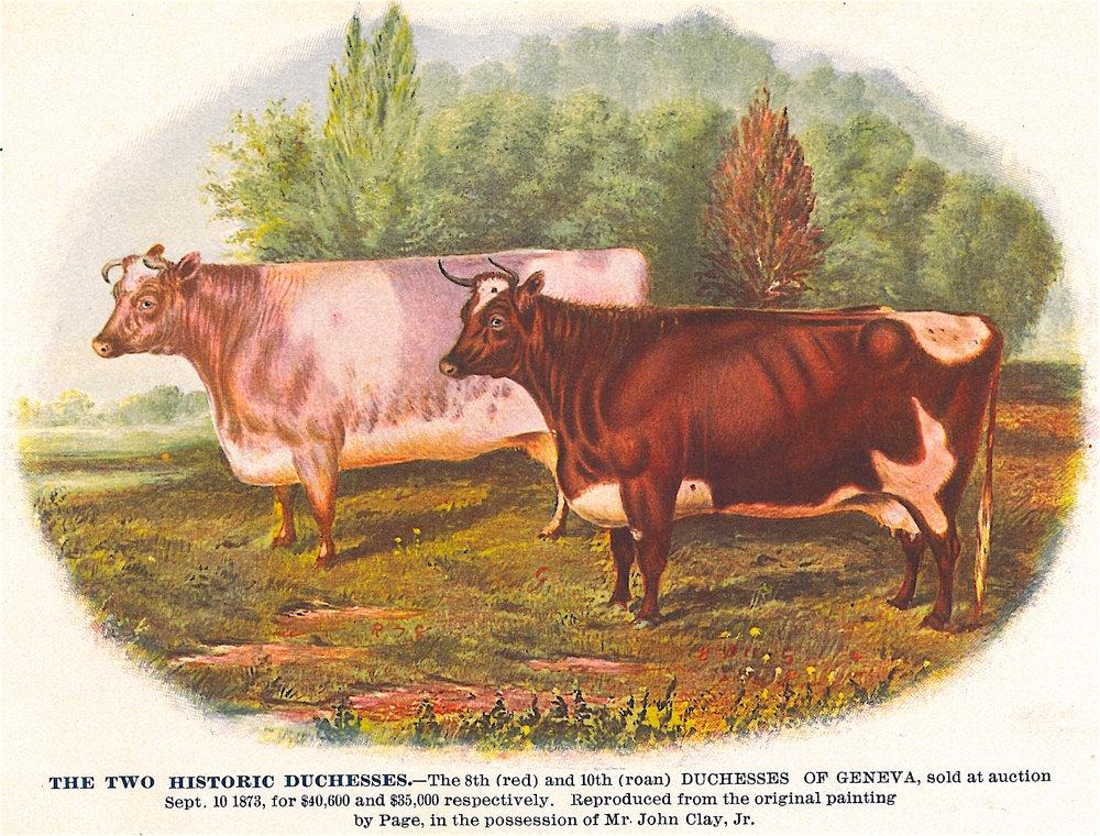 Duchess cows (1873).JPG