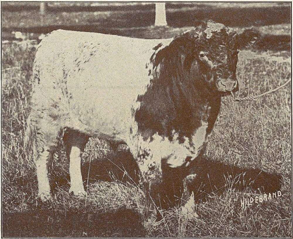 Sultan's Creed as a calf