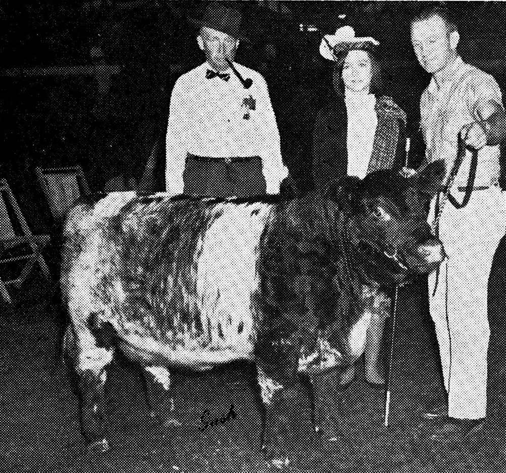 Shorthorn Yearling Heifer, 1960s