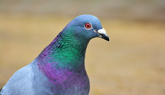 pigeonB2.jpg