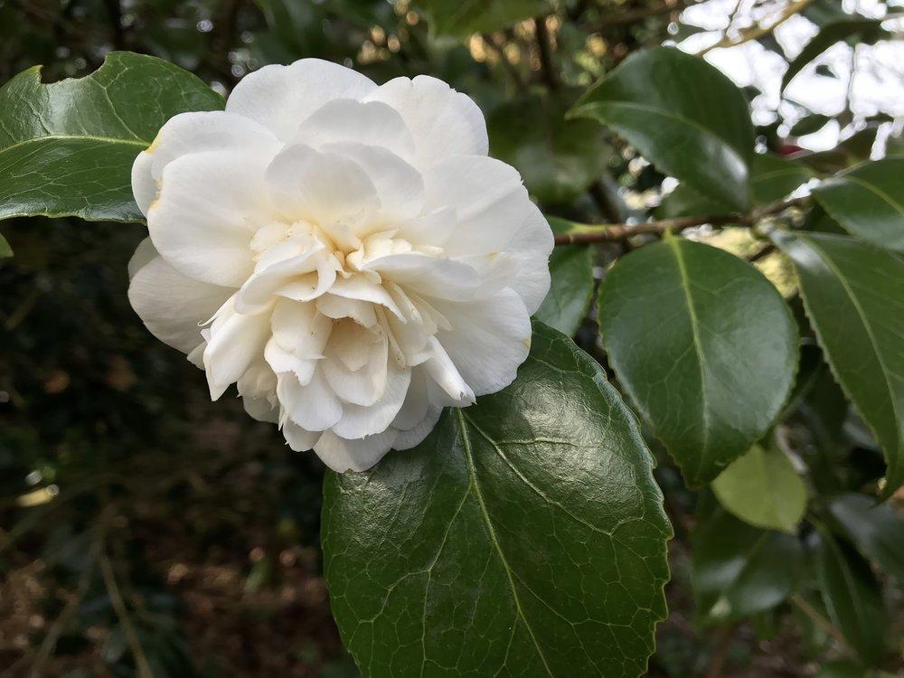 white camellia_5Apri.jpg