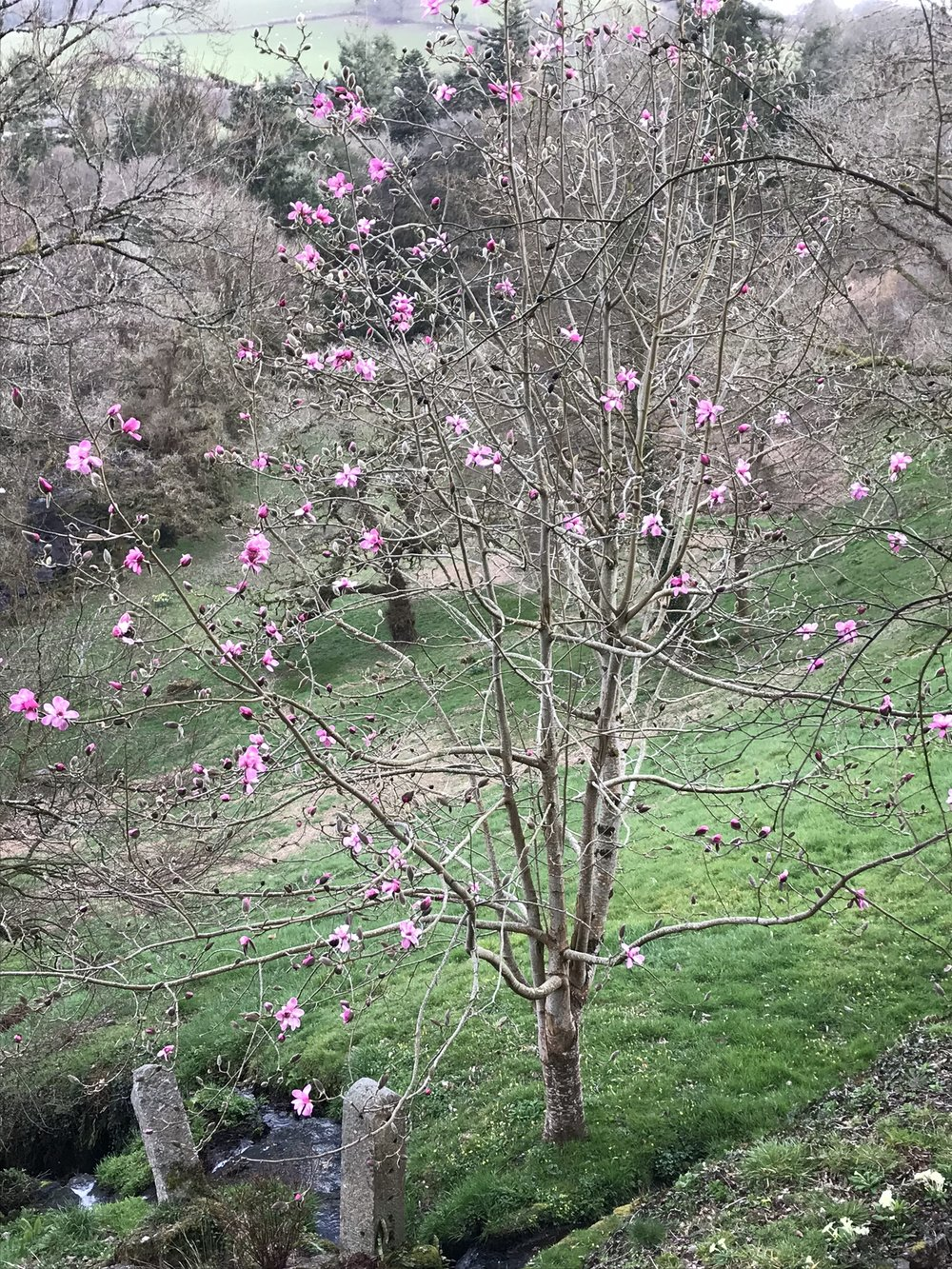 April6_2018_magnolia.jpg