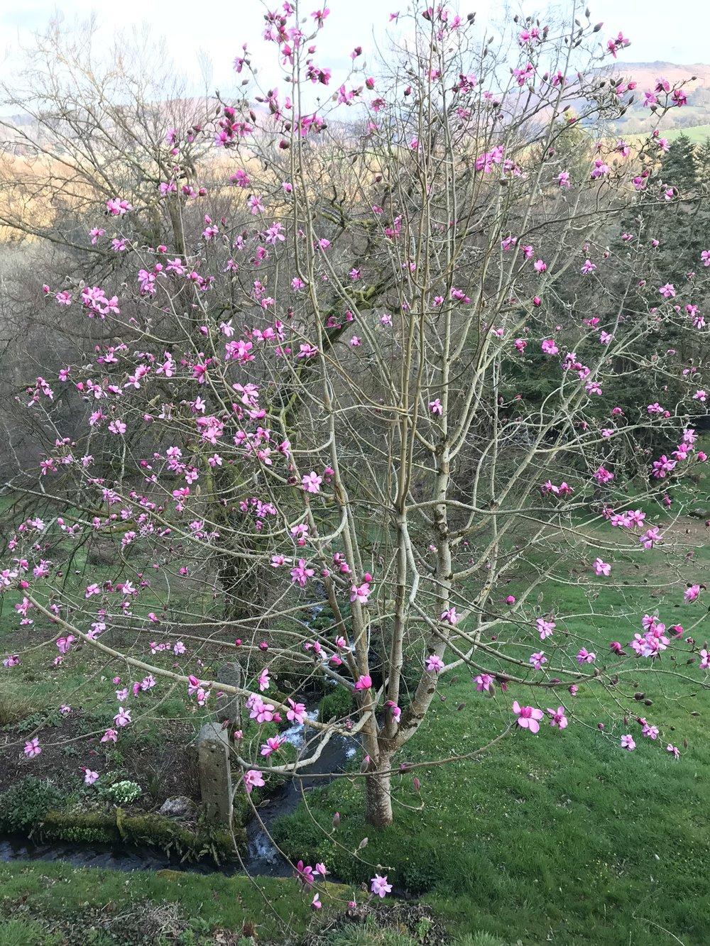 April8_2018_magnolia.jpg