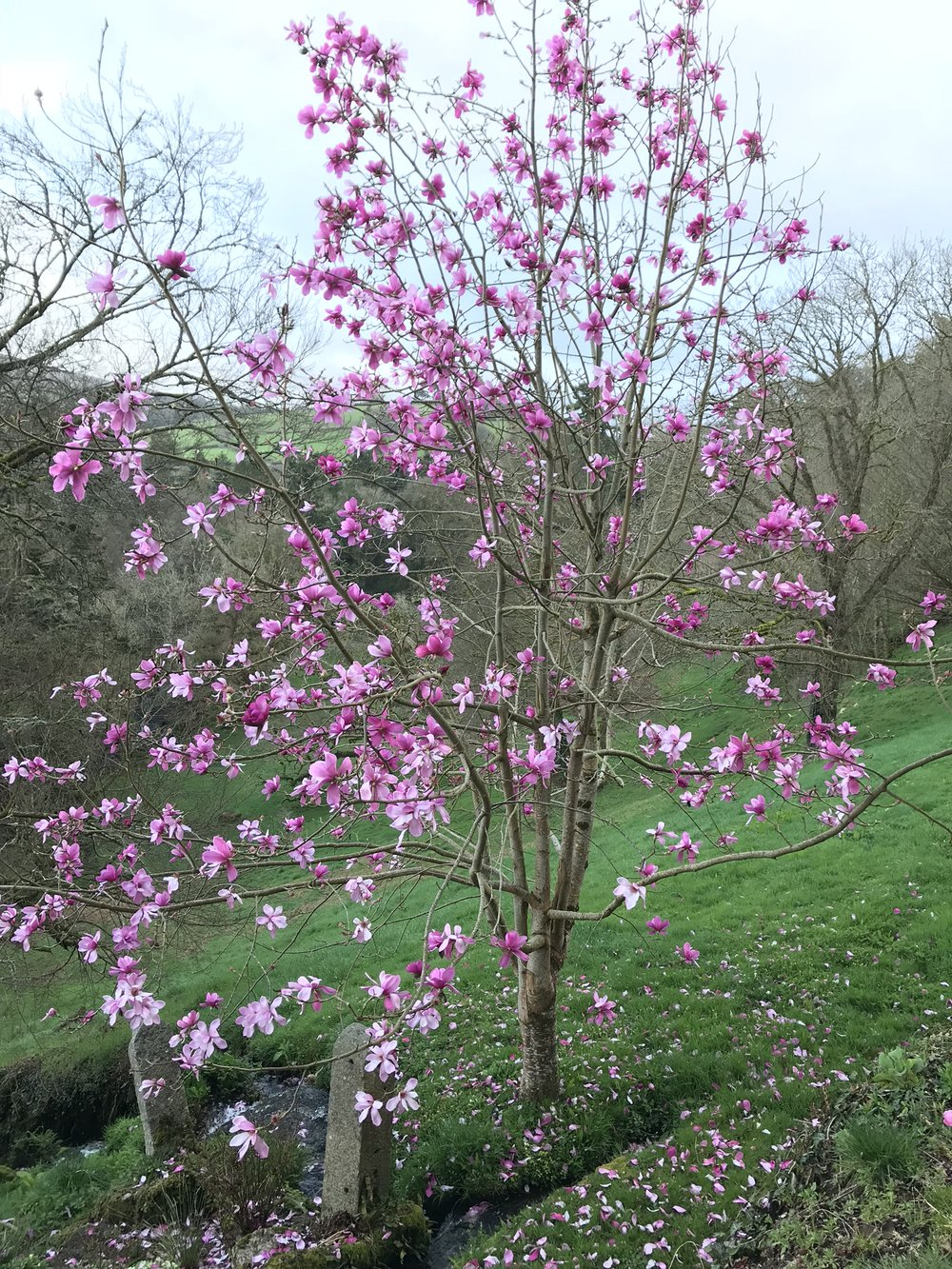 April15_2018_magnolia.jpg