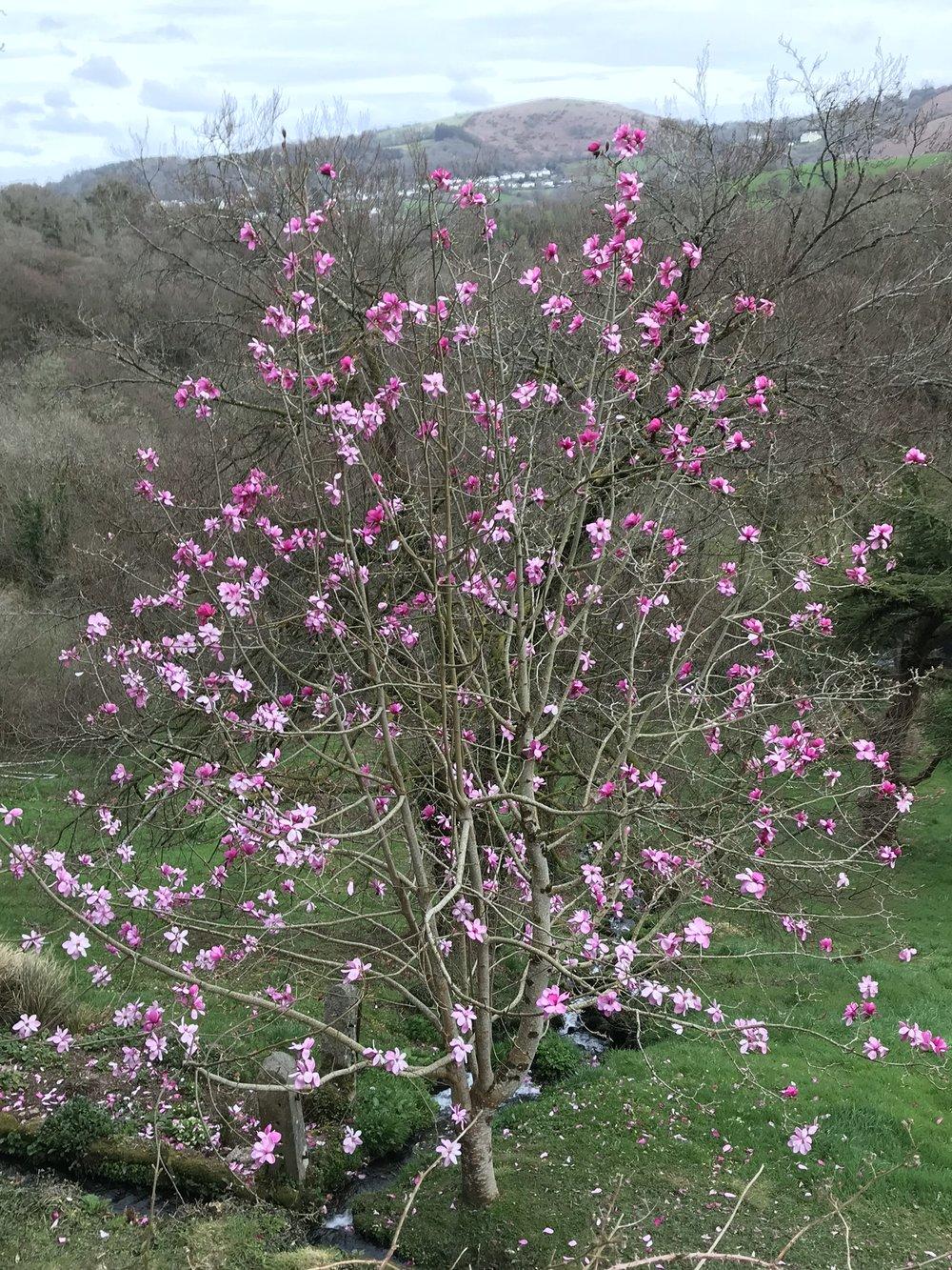 April16_2018_magnolia.jpg