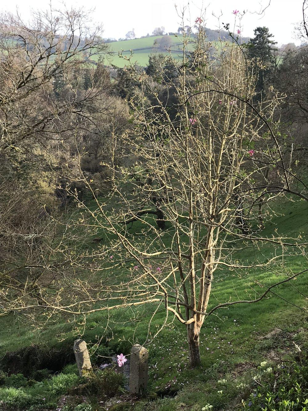 April21_2018_magnolia.jpg