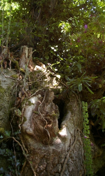 The hollow tree has grown to be part of the granite outcrop