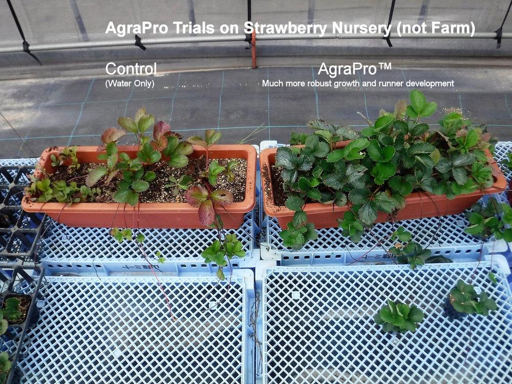 strawberry nursery.jpg