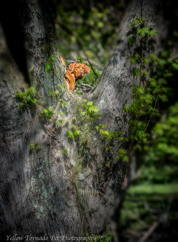 Otto the Vizsla in a tree 2.jpg