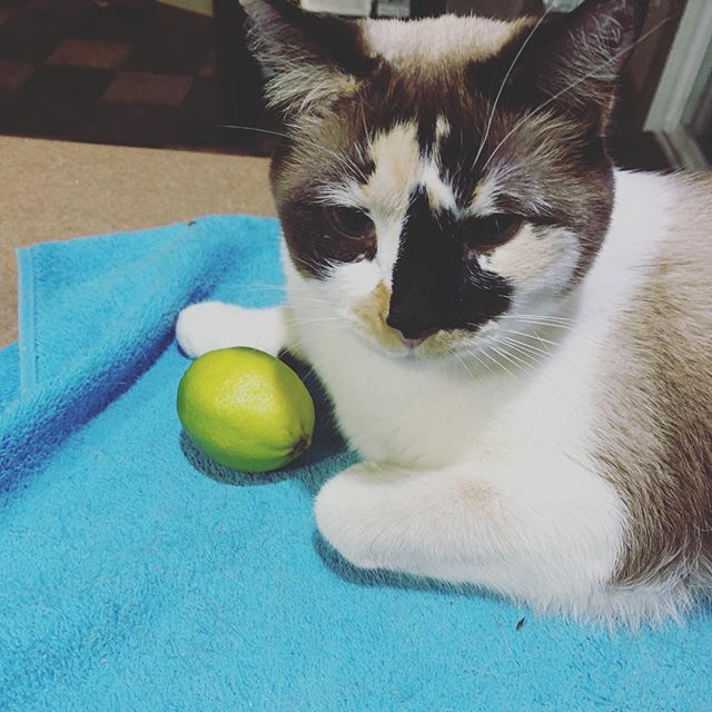 Cat vs. Lime: at first it was a friend. And then it rolled and she knew it was a foe to be pushed off the counter. #nolimesforyou