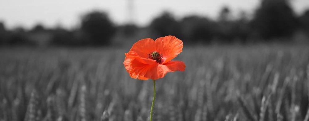 poppy_in_wheat_field_1170x461.jpg