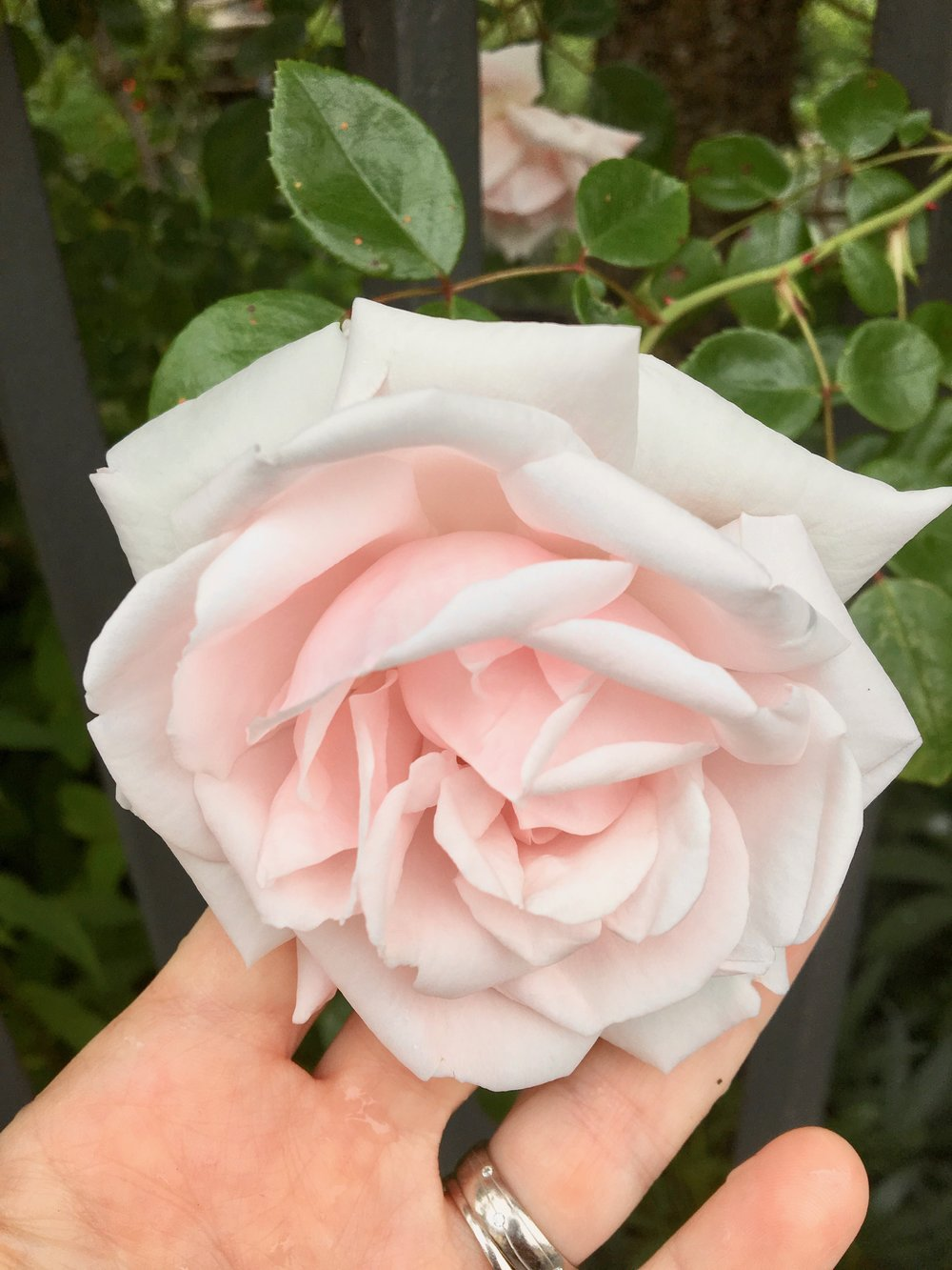 It takes 5000 tonnes of raw plant material to make 3 litres of precious pure Rose oil
