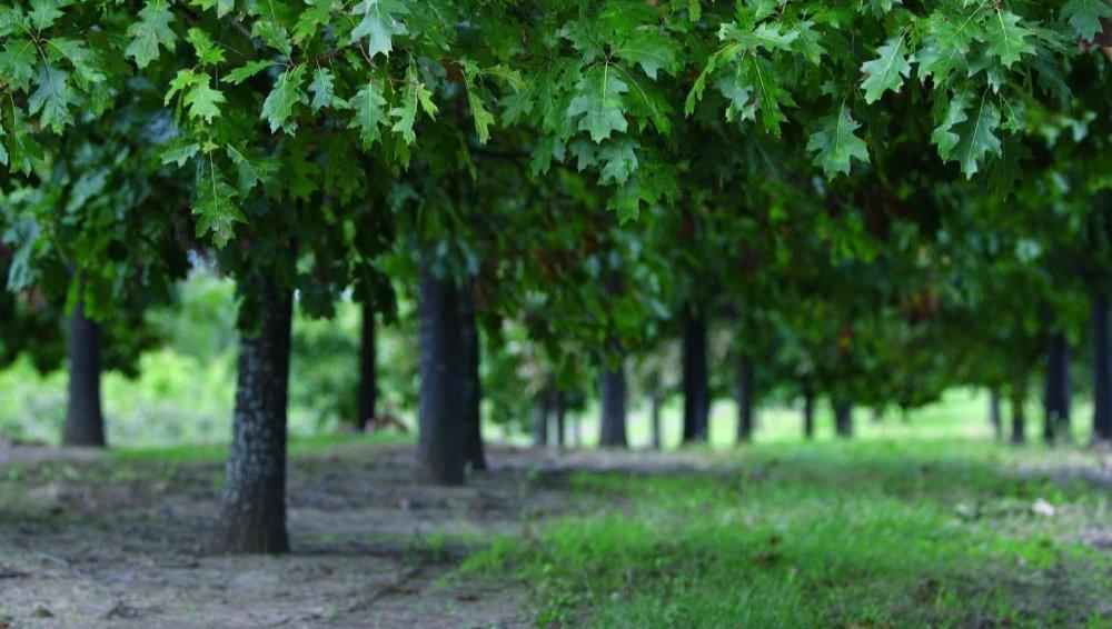 Quercus rubra, GVtf.jpg