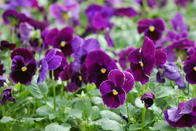 Viola_2C_purple_2C_dun_gc_04.jpg