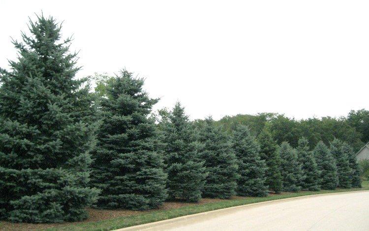 Picea pungens, hedge.jpg