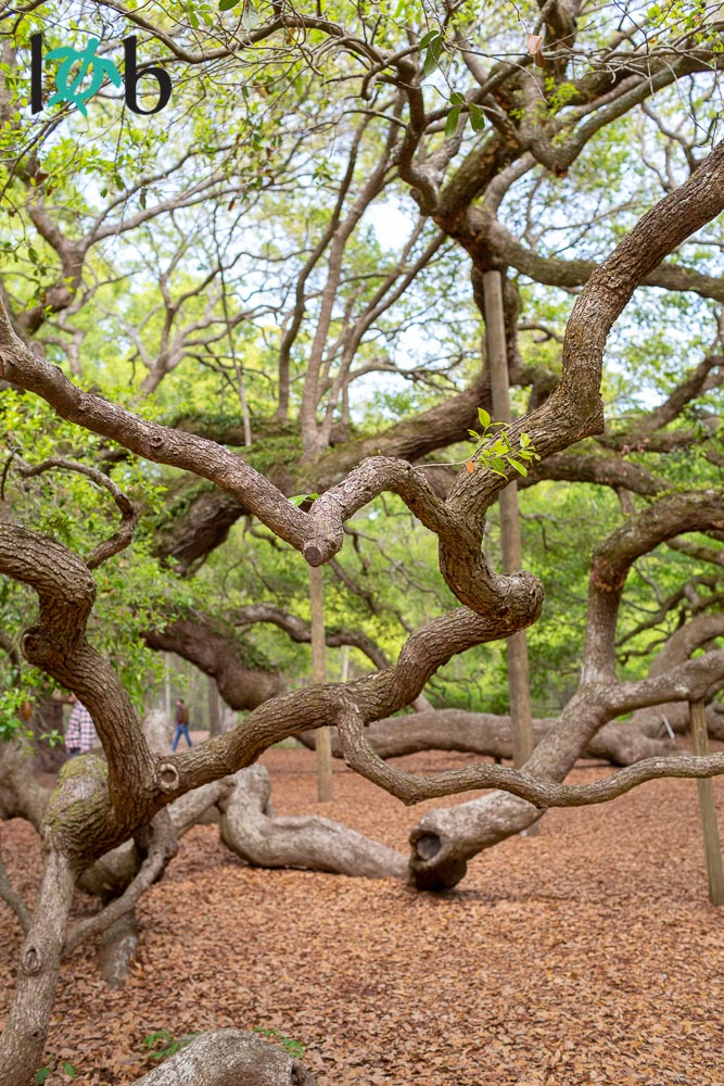 Angel Oak, Charleston, South Carolina