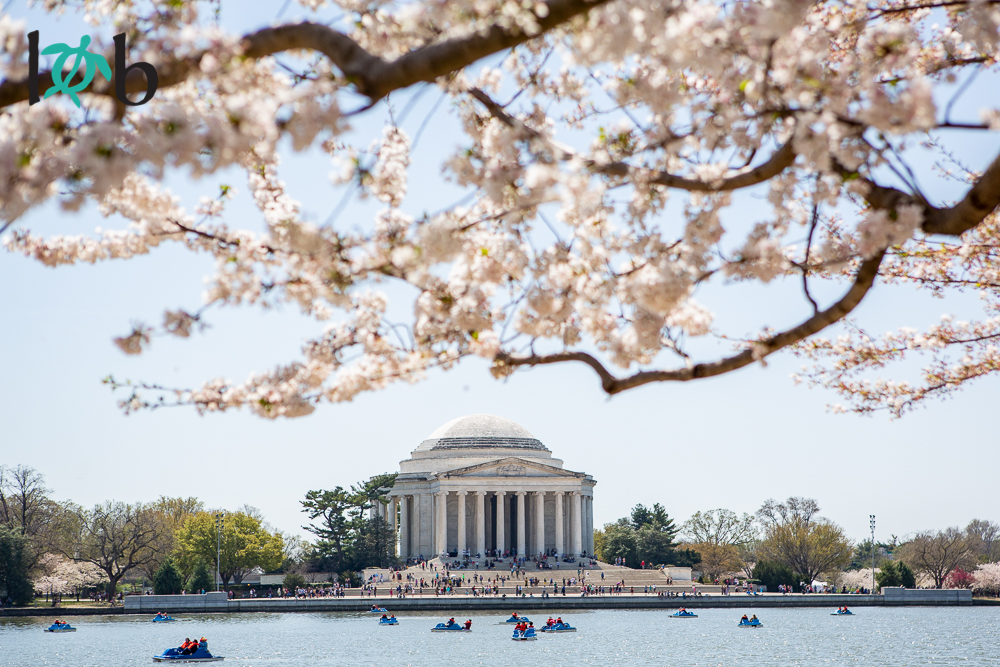 View of Jefferson Memorial with Cherry Blossoms, Washington, DC