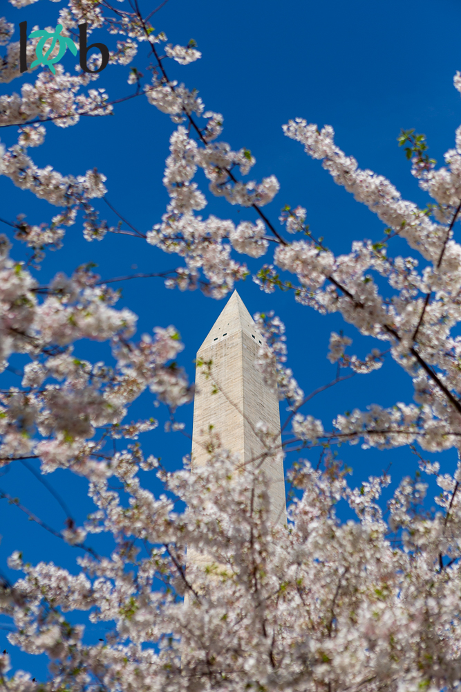 View of Washington Monument with Cherry Blossoms, Washington, DC