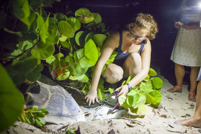 Hawksbill Turtle nesting research in Antigua