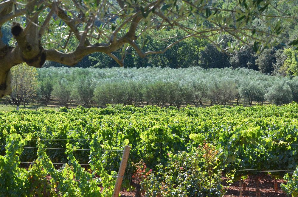 vigne et olivier.jpg