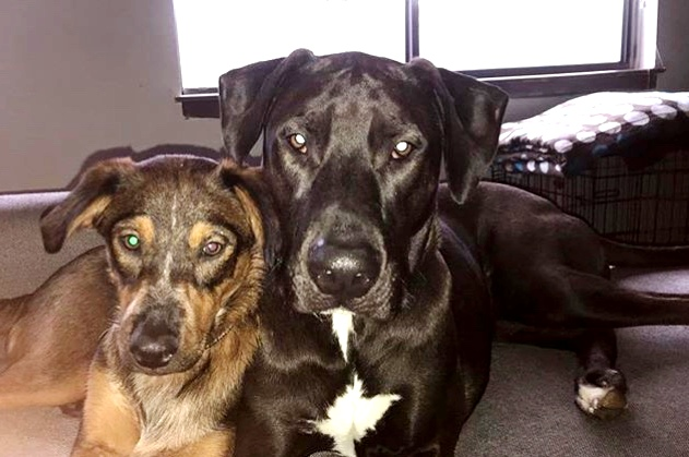 Haley's Dogs  Left: Freeda - 14 Month Old Shepherd Mix. Haley adopted Freeda in October of 2017.  Right: Cutler - 2.5 Year Old Doberman/Pit Mix. Haley has raised Cutler since he was 6 weeks old.