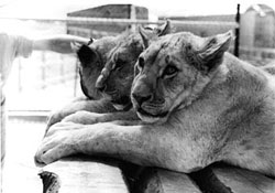 The Lion Game - BBC NI