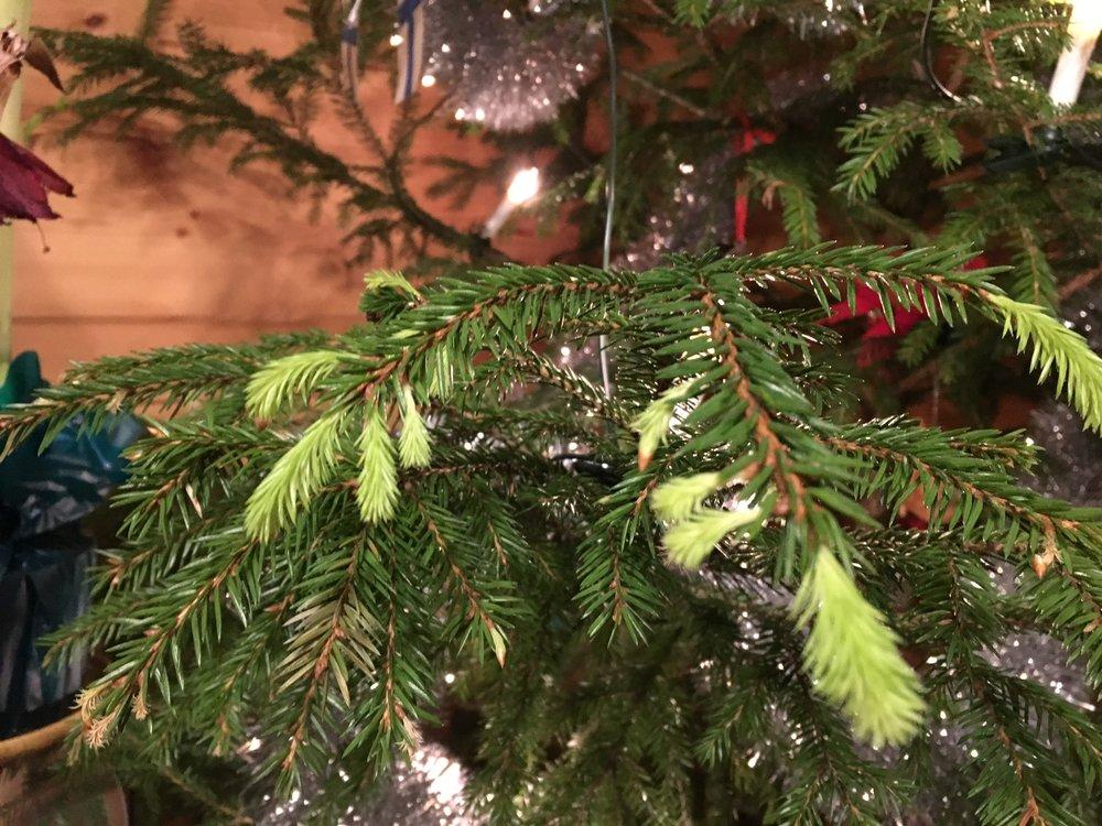 Joulukuusi ja Aktiivivesi