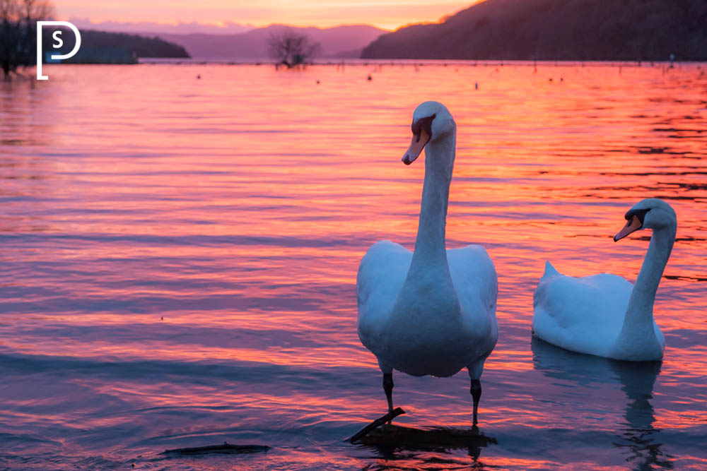 Swans-Balmaha-Bay-Sunset-Loch-Lomond-9076.jpg