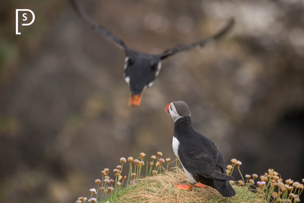 Puffins-Staffa-Scotland-Island-4222.jpg