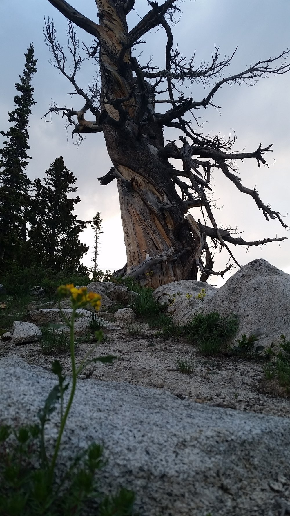 The Bristlecone Pine ( pinus longaeva ) can live as long as 4,000 years.  This one stands atop Clayton Peak, UT.