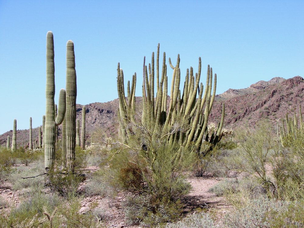 organ pipe cactus national monument.jpeg