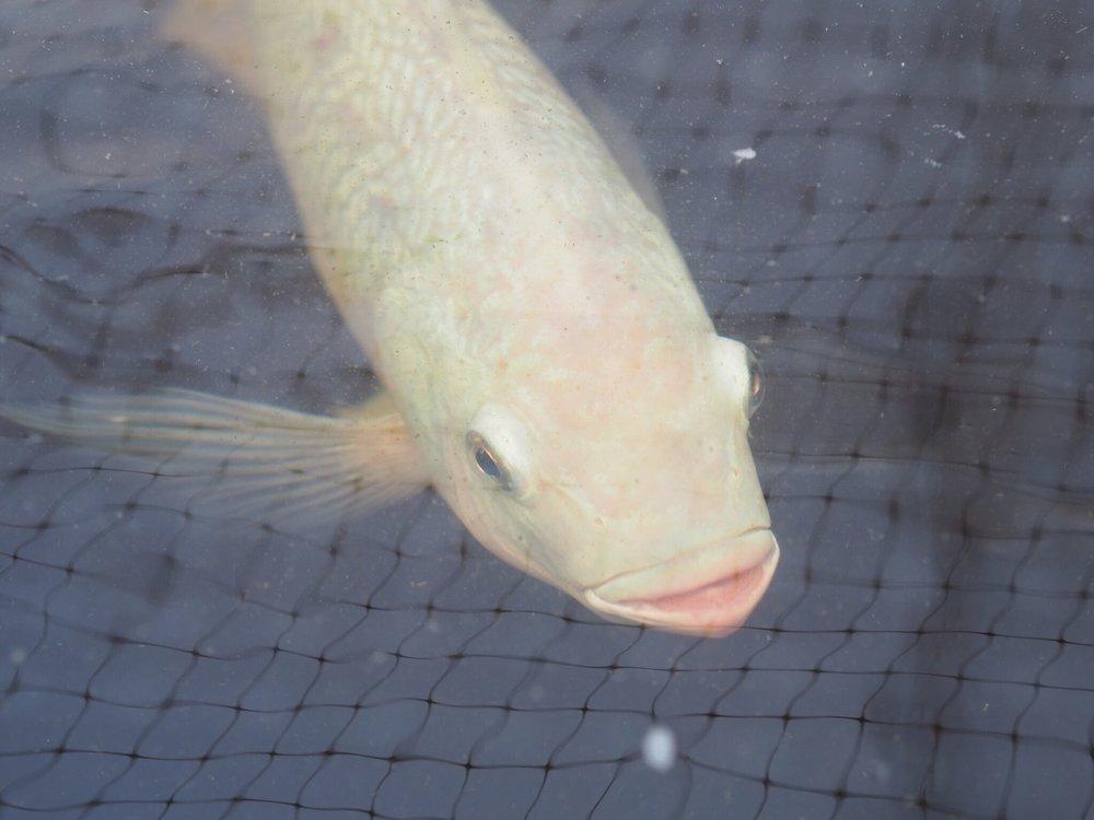 Aquaponics Fish.JPG