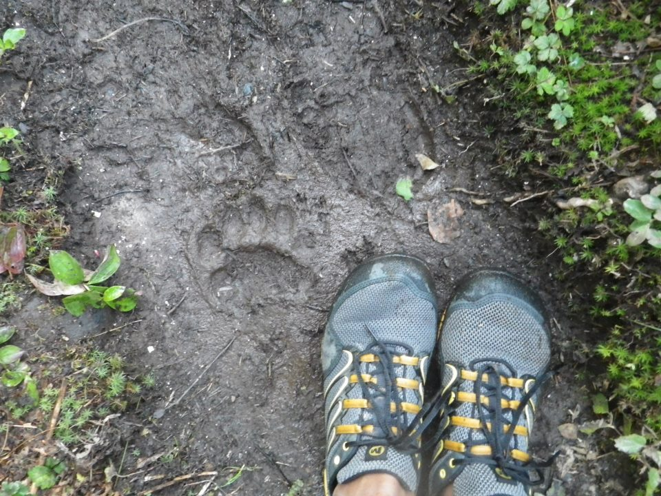 Bear tracks on my morning run circa 2012 (Photo credit: Adam Edwards)
