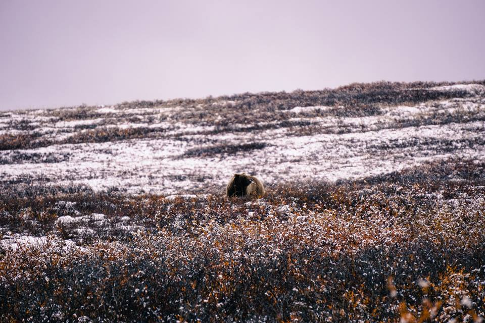 A grizzly bear foraging in early fall. Denali National Park (Photo credit: Adam Edwards)